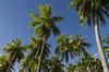 Au dessus de nos têtes (Rosca75) Tags: palm palmtree coconut coco greentree rangiroa polynésiefrançaise frenchpolynesia polynesia