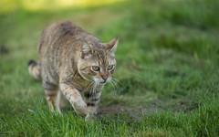 cat (20) (Vlado Ferenčić) Tags: animals animalplanet catsdogs cats kitty vladoferencic podravina vladimirferencic nikond600 sigma15028macro
