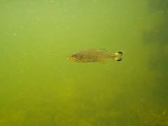Huronian 07-08-2017 - 8 (s.kosoris) Tags: skosoris pentaxoptiowg1 wg1 pentax camp camping huronian bass underwater