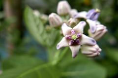 kapal kapal (crown flower) (DOLCEVITALUX) Tags: kapalkapal crownflower flower flowers flora fauna philippines lumixlx100 panasoniclumixlx100 medicinalplants