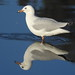 gull reflection (1)