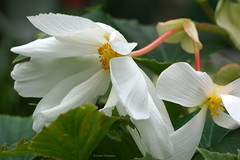 Begonia (Ineke Klaassen) Tags: begonia flora floral flower flowers begoniaceae plant plants garden gardening tuin bloem bloemen sony sonyalpha sonyalphateam sonya6000 sonyilce6000 sonyphotography teamsony sonyimages mirrorless zoomnl 25faves 25favs 2550fav 30faves 1000views outdoor outside natuur nature natur naturephotography natuurfotografie naturaleza natura