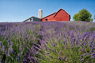 _DSC3545 Lavender Hill Farm