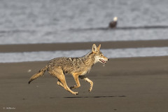 Coyote (shimmer5641) Tags: canislatrans coyote coyoteonthebeach mammal carnivorous omnivore