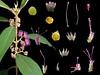 Verbenaceae Callicarpa kochiana (taiwanicus) Tags: 兩性花 bisexual flower 柱頭 stigma 子房 ovary 雌蕊 pistil 雄蕊 stamen
