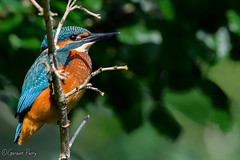 Kingfisher (parry101) Tags: south wales southwales nature geraint parry geraintparry wildlife cardiff forestfarm forest farm close closeup sigma sigma150600 150600 150600mm d500 nikond500 bird birds male perch perched kingfisher kingfishers tree trees