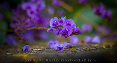 Spring on the way (stewartbaird) Tags: flower purple flowersplants macro winter newzealand nature