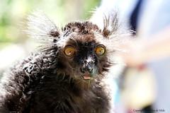 Sunlight (DirkVandeVelde on and off) Tags: europa europe europ belgie belgium belgica belgique buiten biologie antwerpen anvers antwerp animalia animal mechelen malines malinas mammalia muizen zoo zoogdieren moormaki chordata planckendael park primates primaten strepsirrhini lemuriformes lemuren sony fauna zwartemaki eulemurmacaco