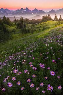 Aster Twilight Heaven On Mt Rainier