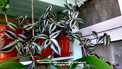 Tradescantia zebrina on shelving on balcony 1st August 2017 (D@viD_2.011) Tags: tradescantia zebrina shelving balcony 1st august 2017
