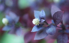 Burgundy foliage (judith511) Tags: 7daysofshooting week6 inthegarden focusfriday alternantheradentata burgundy groundcover naturethroughthelens