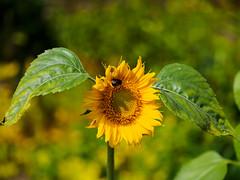 Wünsche allen ein sonniges Wochenende (mohnblume2013) Tags: sonnenblume biene sommer sonne garten blüte fokus bokeh macro