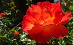 Red, orange and yellow rose at Faith Presbyterian1 (Martin LaBar) Tags: sandiego sandiegocounty faithpresbyterianchurch california red rosaceae rose flower