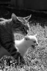 IMG_2017_05_20_6352 (gravalosantonio) Tags: gatos cat madre e hija huerto ecologico jaca spain blanco y negro