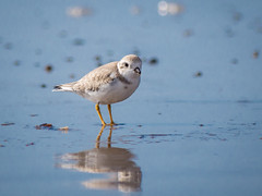 Piping Plover in Winter Plumage [Endangered] (claudiaulrikegoodall) Tags: