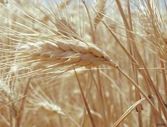 Champs de blé à Valensole (Missfujii) Tags: champs blé nature épis