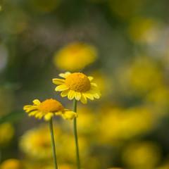 Anthemis tinctoria (Stefano Rugolo) Tags: pentax k5 smcpentaxm50mmf17 anthemistinctoria flowers yellow bokeh stenegård järvsö garden trädgård hälsingland perspective stefanorugolo