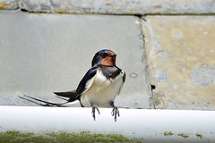 Swallow at Cadle Mill Farm (Brian Meredith May 17)