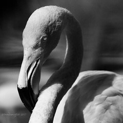 The Eye Has It. Flamingo Study, 2017. (bamoffitteventphotos) Tags: ifttt instagram blackandwhitewednesday blackandwhite flamingo bird sandiegozoo eye fauna filmnoir dramatic lightroom canon7d canon70200 shadowsandlight sandiego california usa southerncalifornia