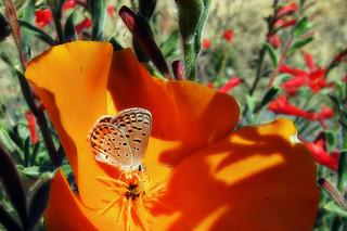 Acmon blue in a poppy