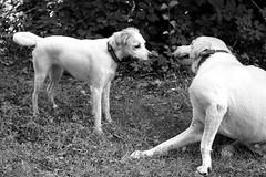 Hunde (glaserei) Tags: hunde hund haustier natur