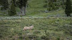 Coyote at Wraith Falls Parking Lot (Yellowstone NP) (Kᵉⁿ Lᵃⁿᵉ (Instagram: @CarShowShooter)) Tags: geo:lat=4494222517 geo:lon=11062317788 mammoth unitedstates usa geotagged adventure canislatrans coyote exploring grandlooproad mammal nationalpark nationalparkservice nature tourism touristattraction travel travelblog travelphotography travelingadventures usnationalpark usnationalparkservice unitedstatesnationalpark upperterraceloopdrive wildlife worldadventures worldtravel worldsfirstnationalpark wraithfalls wraithfallsparkinglot wy wyoming yellowstone yellowstonecoyote yellowstonenationalpark yellowstonenp ynp
