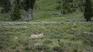 Coyote at Wraith Falls Parking Lot (Yellowstone NP)