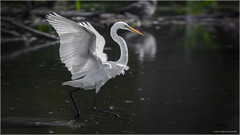 Dancing on Water - Explored Aug. 4, 2017 (Chris Lue Shing) Tags: aurora ontario canada ca nikond7100 nikonafs70300f4556gvr bird nokiidaatrail mckenziemarsh wetland shorebird shore pond nature egret fishing fish food eating white feeding greategret ©chrislueshing afsnikkor70300mm14556g nikon 70300 70300mm nikkor animal running dancing water splash d7100 explore explored
