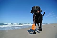 beach fun (uwe.kast) Tags: labrador labradorretriever labradorredriver hund haustier nordsee northsee denmark dk danmark vester husby jütland westküste dog nikon nikon1 nikon1v1