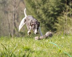 Lurcher Lurching (kitwilliams91) Tags: lurcher dog canine intelligence speed popularbreed canon5dmarkiii 70200mmlens
