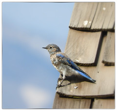 Day 243/365 2017-08-31 Mountain Bluebird (Kirsten Osa) Tags: moose wyoming unitedstates us mormonrow antelopeflatsrd bluebird