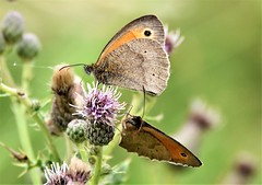 Two of a kind. (pstone646) Tags: butterflies nature insects wings feeding animals closeup flora fauna thistle flowers bokeh kent emley wildlife two
