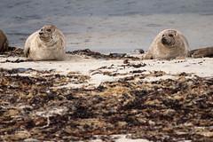 Seals near Birsay, Orkney Islands (unukorno) Tags: scotland schottland seals robben sea beach meer strand nature