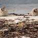 Seals near Birsay, Orkney Islands