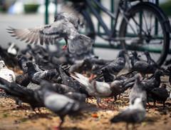 Feeding Time (Daniel Smukalla) Tags: 4k asia bangkok dslt sony sonya99 thailand longexposure motionblur pigeon pigeons slowshutter krungthepmahanakhon th