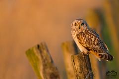 Velduil (Marc Nollet) Tags: velduil shortearedowl klemskerke vogelfotografie vogel canoneos7d nollet 500mm hibou des marais
