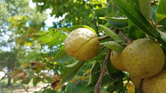 Ohio Buckeye (dankeck) Tags: aesculus glabra nut shell buckeye tree park