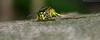 Wespe (ramonaschmitt) Tags: wespe wasp schwarz black gelb yellow natur nature bokeh nikond3300 tamronspaf90mmf28dimacro11272nii tamron nikon d3300 haare fühler lebewesen