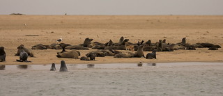 Cape Fur Seals and Jackel Walvis Bay Skeleton Coast Namibia Africa - Explored