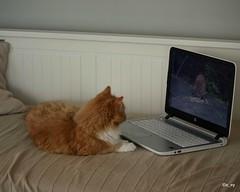 Cat watching videos (a_ey) Tags: cats watchingvideos computer rescuecat orangecat
