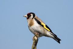 Goldfinch (NickWakeling) Tags: goldfinch finch cleymarshes cleynextthesea cley norfolk nature northnorfolk norfolkwildlifetrust birds canoneos7dmarkii sigma150600mmf563dgoshsmcontemporary wildlife