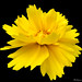 Coreopsis+-+Tickseed+-+Les+cor%C3%A9opsis