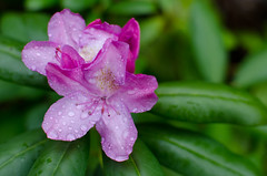 Rhododendron After Rain (kayleeacres) Tags: rhododendron flower native plants color pink green rain raindrop macro spring bloom flora