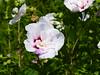 2017 Germany // Unser Garten - Our garden // im August // Hibiskus (Hibiscus) (maerzbecher-Deutschland zu Fuss) Tags: 2017 garten natur deutschland germany maerzbecher garden unsergarten august hibiskus hibiscus