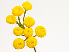 Tansy - High Key (brucegates) Tags: canon7d canon60mmf28 flowers tansy brucegates colour sudbury ontario highkey