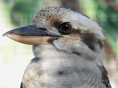 Cucaburra (josuneetxebarriaesparta) Tags: txoria ave dacelonovaeguineae martínpescador australia nuevaguinea bird