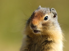 on guard (fred.colbourne) Tags: groundsquirrel wildlife animal banffnationalpark