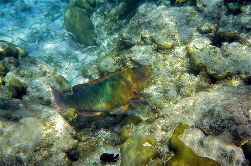 Rainbow Parrotfish (Scarus guacamaia)