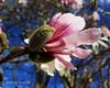 459. MAGNOLIA: Fur Elise (www.YouTube.com/PhotographyPassions) Tags: petals buds leaf leaves tree bush shrubs trees blossoms bloom flowers flora mlpphflora spring sky macro flower bluesky