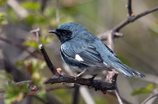 IMG_0083  Black-throated Blue Warbler